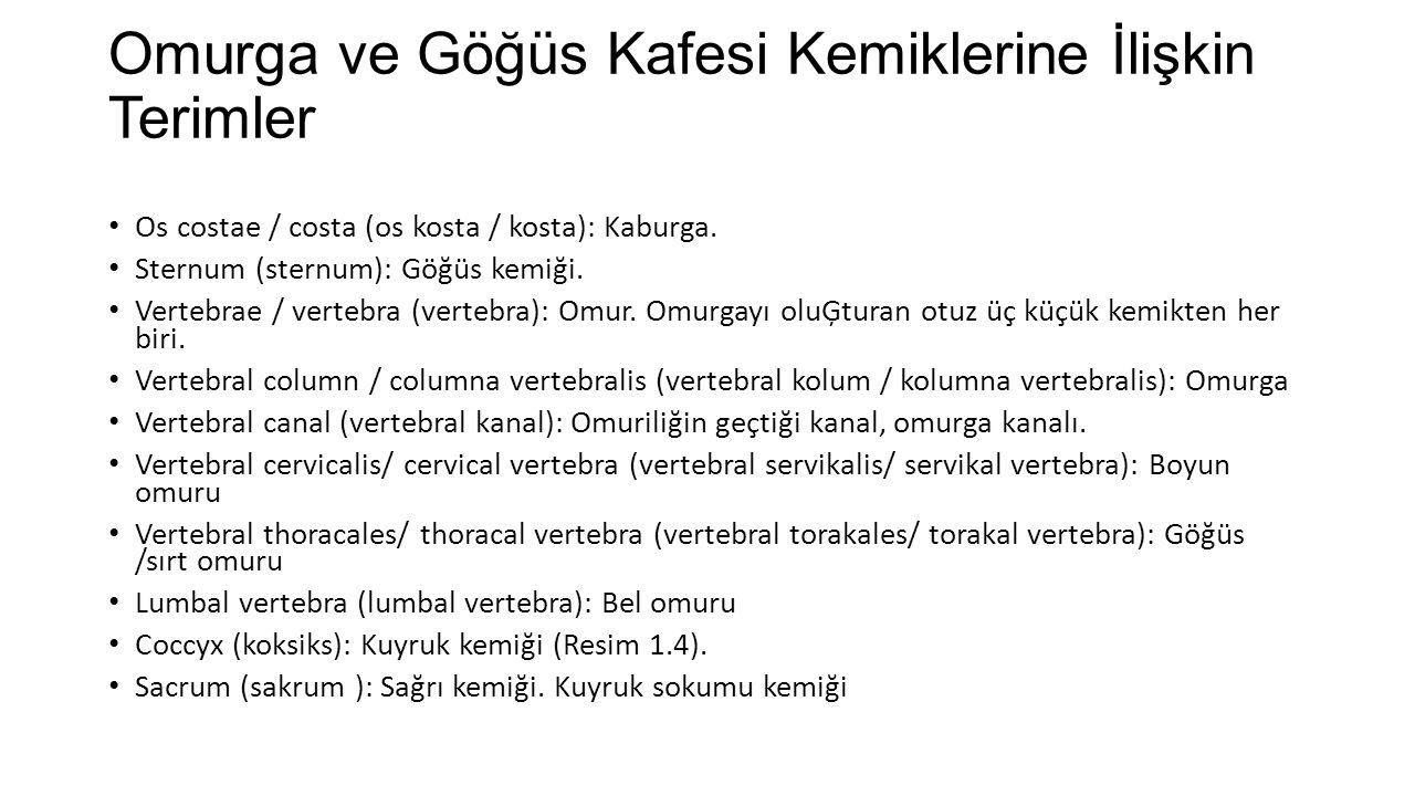 Omurga ve Göğüs Kafesi Kemiklerine İlişkin Terimler Os costae / costa (os kosta / kosta): Kaburga.