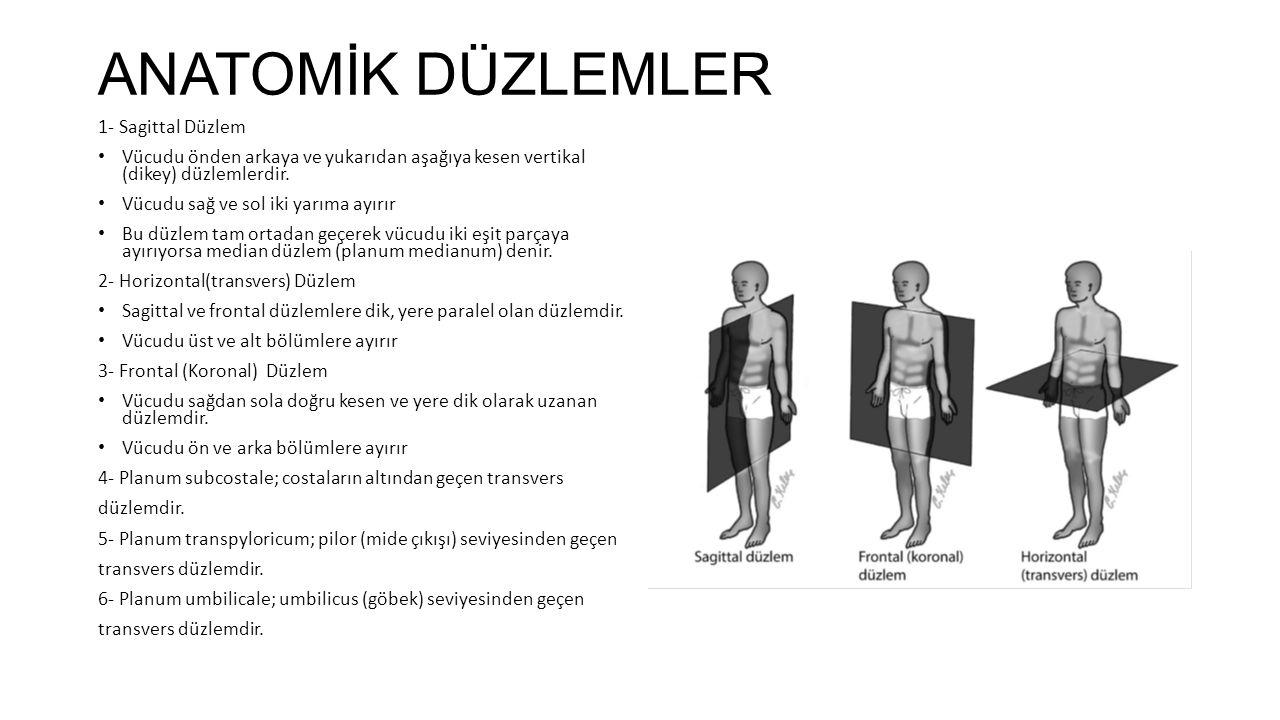 ANATOMİK DÜZLEMLER 1- Sagittal Düzlem Vücudu önden arkaya ve yukarıdan aşağıya kesen vertikal (dikey) düzlemlerdir.