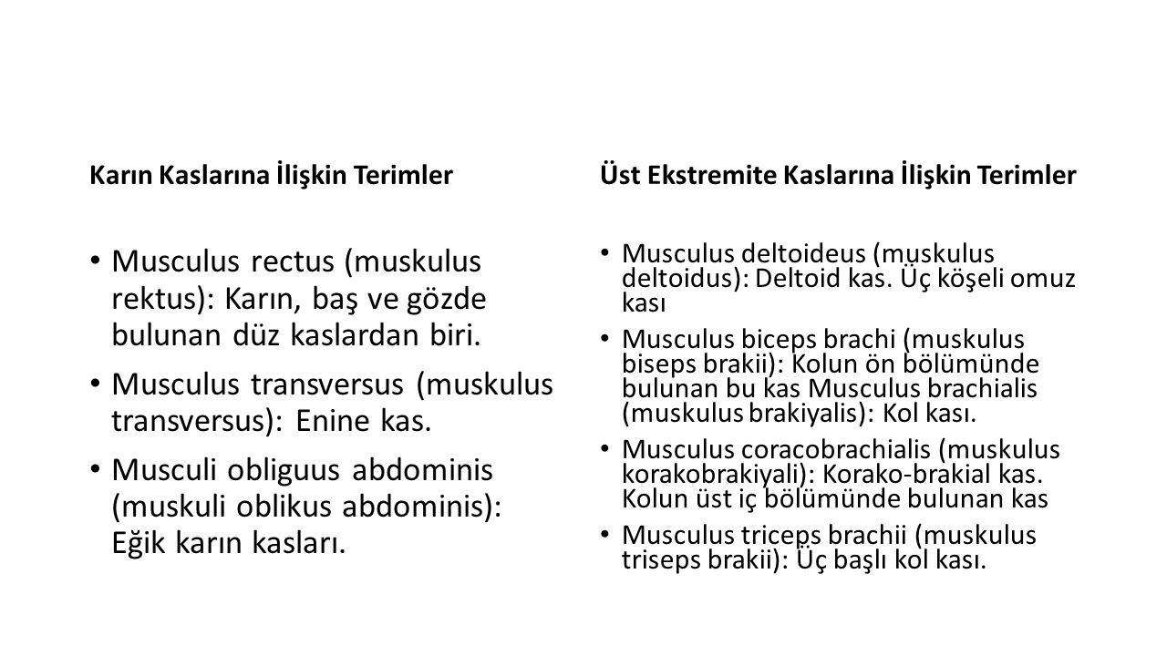 Karın Kaslarına İlişkin Terimler Musculus rectus (muskulus rektus): Karın, baş ve gözde bulunan düz kaslardan biri.