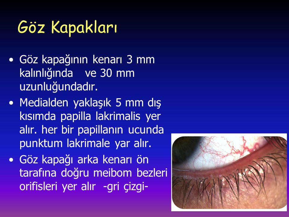 Göz Kapakları Göz kapağının kenarı 3 mm kalınlığında ve 30 mm uzunluğundadır. Medialden yaklaşık 5 mm dış kısımda papilla lakrimalis yer alır. her bir