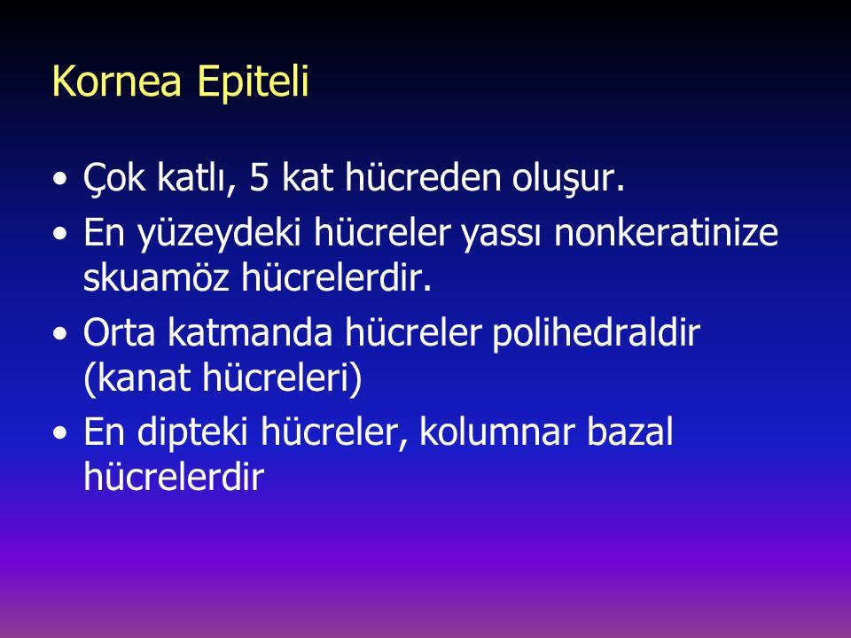 Kornea Epiteli Çok katlı, 5 kat hücreden oluşur. En yüzeydeki hücreler yassı nonkeratinize skuamöz hücrelerdir. Orta katmanda hücreler polihedraldir (