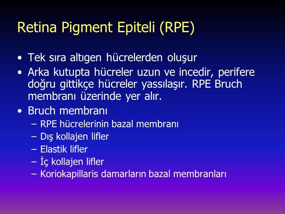 Retina Pigment Epiteli (RPE) Tek sıra altıgen hücrelerden oluşur Arka kutupta hücreler uzun ve incedir, perifere doğru gittikçe hücreler yassılaşır. R