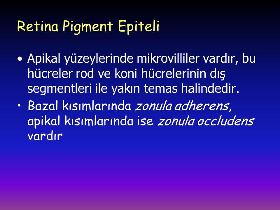 Retina Pigment Epiteli Apikal yüzeylerinde mikrovilliler vardır, bu hücreler rod ve koni hücrelerinin dış segmentleri ile yakın temas halindedir.