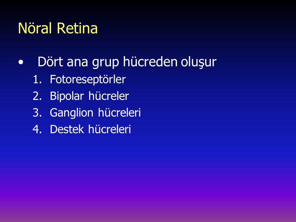 Nöral Retina Dört ana grup hücreden oluşur 1.Fotoreseptörler 2.Bipolar hücreler 3.Ganglion hücreleri 4.Destek hücreleri