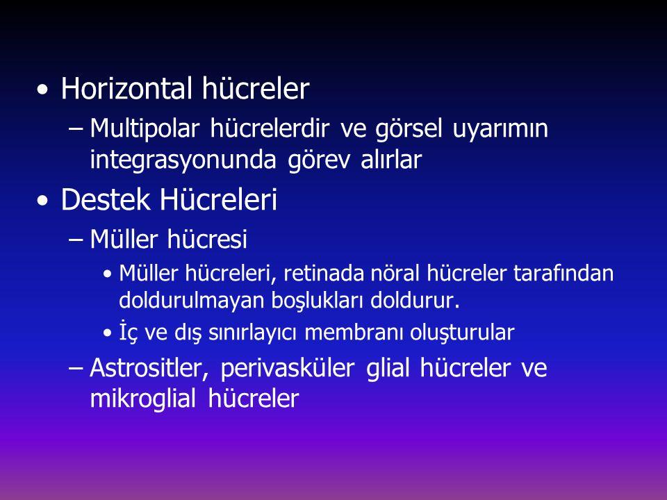 Horizontal hücreler –Multipolar hücrelerdir ve görsel uyarımın integrasyonunda görev alırlar Destek Hücreleri –Müller hücresi Müller hücreleri, retinada nöral hücreler tarafından doldurulmayan boşlukları doldurur.