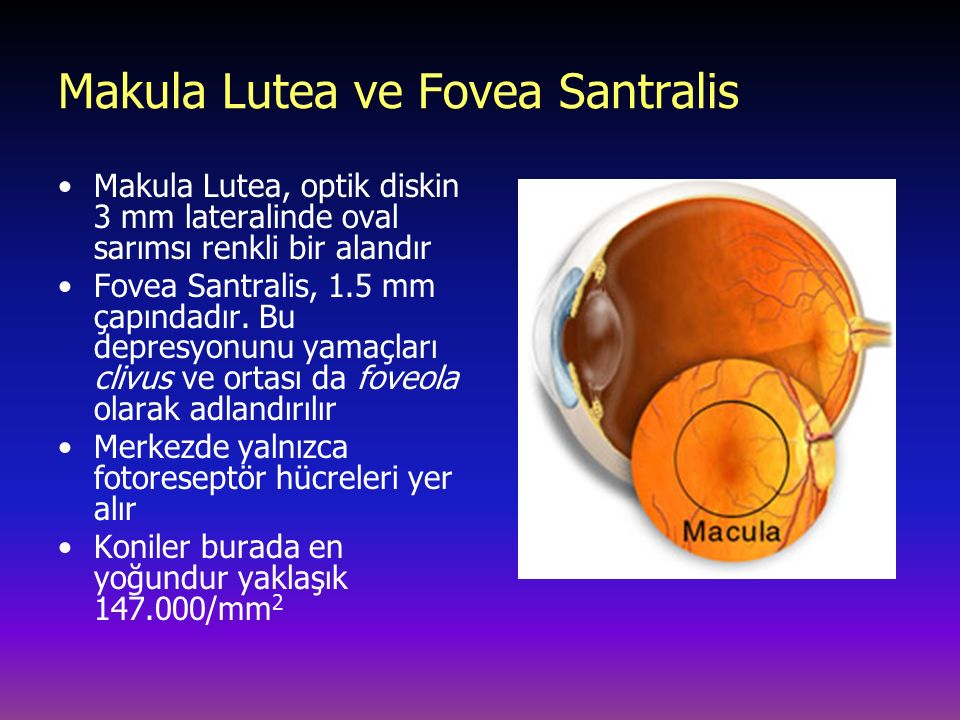 Makula Lutea ve Fovea Santralis Makula Lutea, optik diskin 3 mm lateralinde oval sarımsı renkli bir alandır Fovea Santralis, 1.5 mm çapındadır. Bu dep