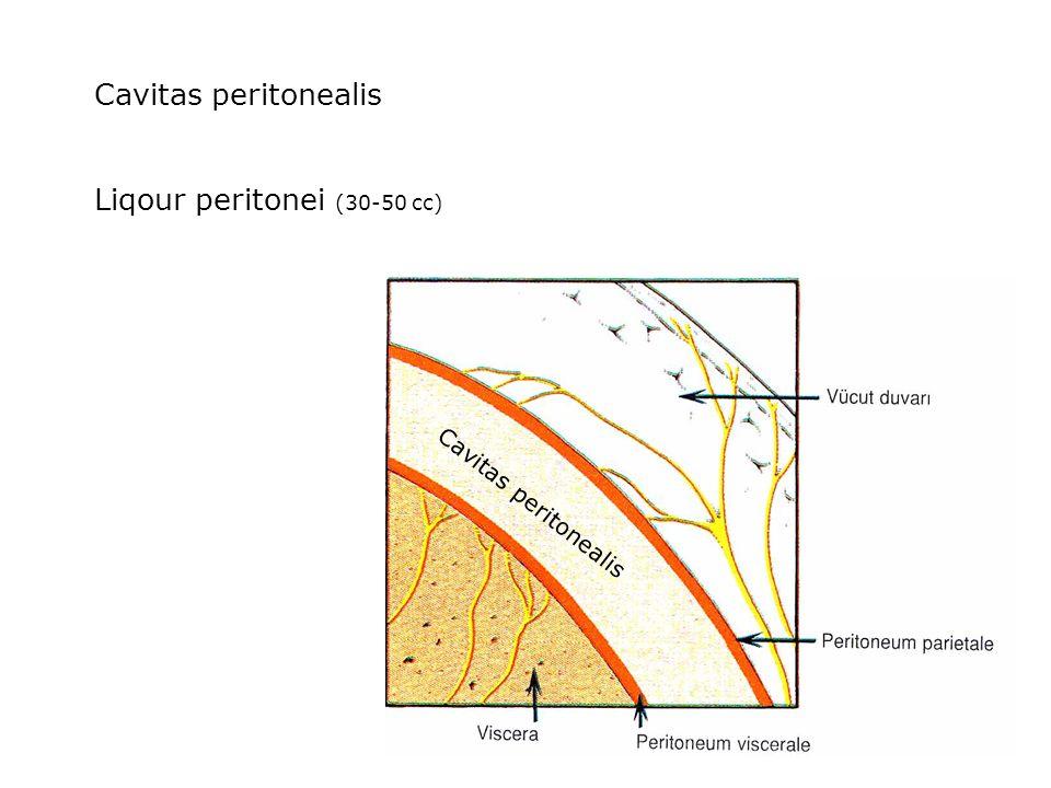 Cavitas peritonealis Liqour peritonei (30-50 cc) Cavitas peritonealis