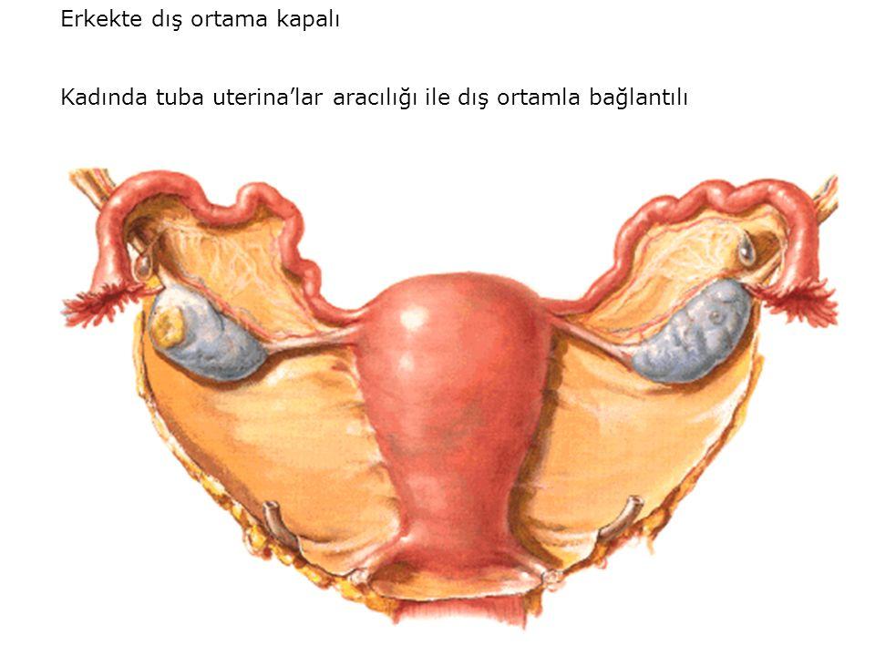 Erkekte dış ortama kapalı Kadında tuba uterina'lar aracılığı ile dış ortamla bağlantılı