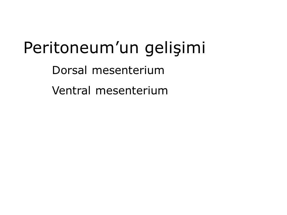 Peritoneum'un gelişimi Dorsal mesenterium Ventral mesenterium