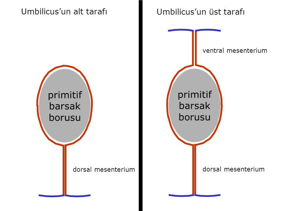 primitif barsak borusu dorsal mesenterium ventral mesenterium primitif barsak borusu dorsal mesenterium Umbilicus'un alt tarafı Umbilicus'un üst tarafı