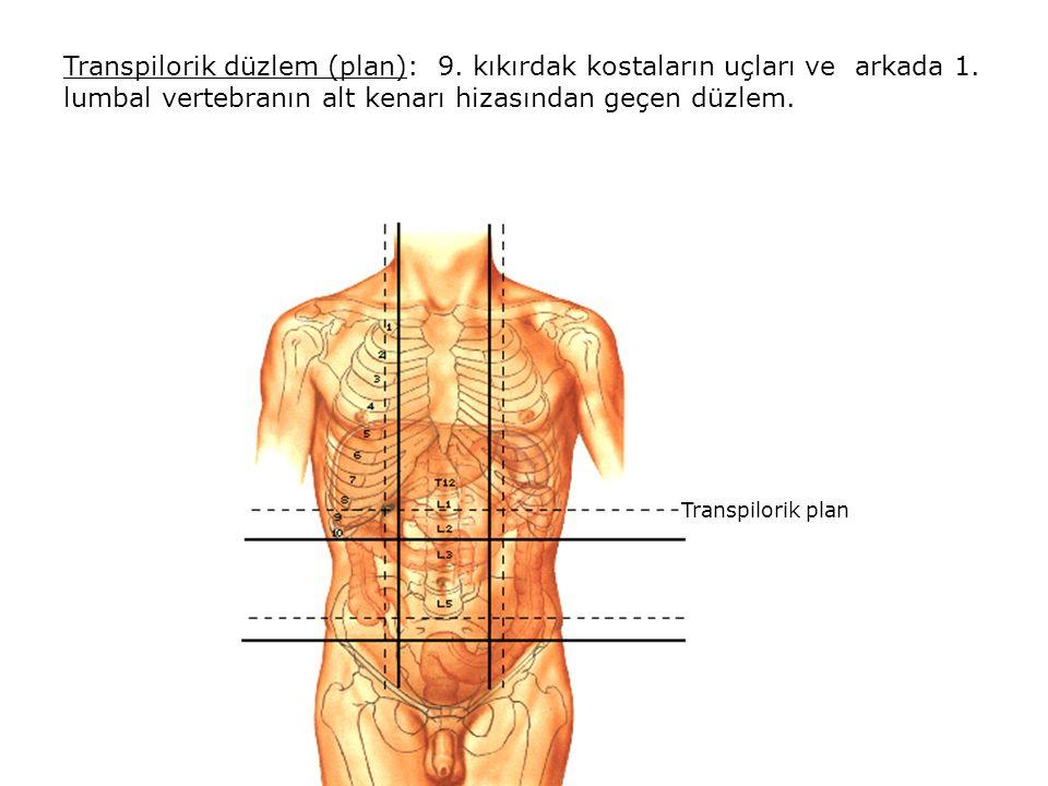 Transpilorik düzlem (plan): 9.kıkırdak kostaların uçları ve arkada 1.