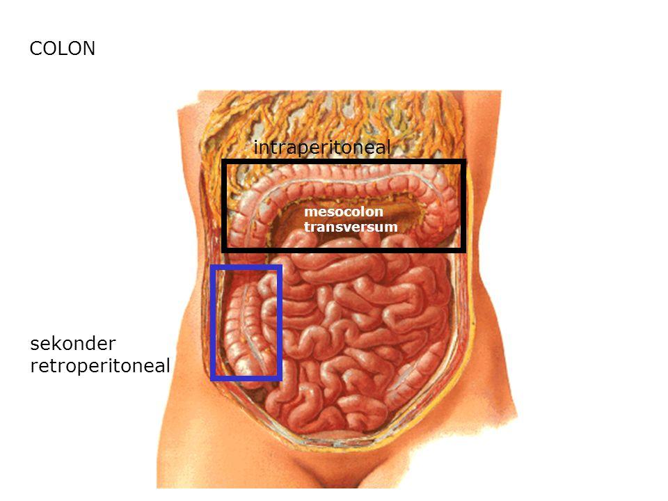 COLON sekonder retroperitoneal intraperitoneal mesocolon transversum