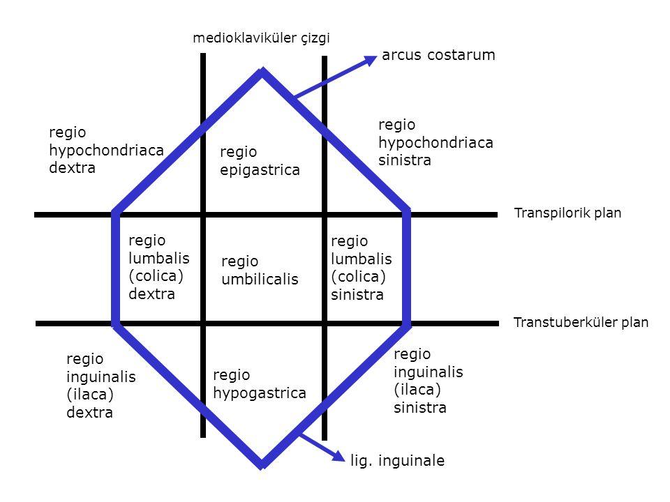 Mesocolon sigmoideum: Sol fossa iliaca'nın aşağısında 3.