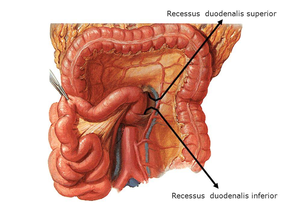 Recessus duodenalis superior Recessus duodenalis inferior