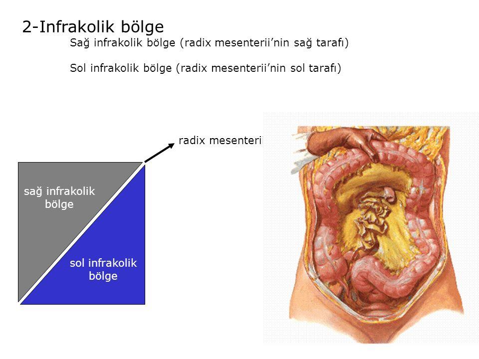 2-Infrakolik bölge Sağ infrakolik bölge (radix mesenterii'nin sağ tarafı) Sol infrakolik bölge (radix mesenterii'nin sol tarafı) sol infrakolik bölge sağ infrakolik bölge radix mesenterii
