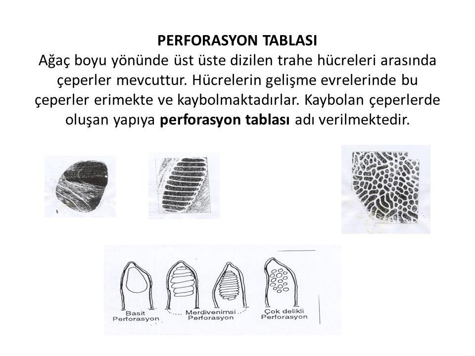 PERFORASYON TABLASI Ağaç boyu yönünde üst üste dizilen trahe hücreleri arasında çeperler mevcuttur. Hücrelerin gelişme evrelerinde bu çeperler erimekt