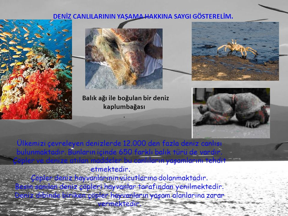 DENİZ CANLILARININ YAŞAMA HAKKINA SAYGI GÖSTERELİM. Balık ağı ile boğulan bir deniz kaplumbağası. Ülkemizi çevreleyen denizlerde 12.000 den fazla deni