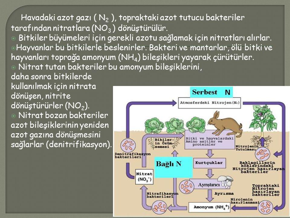 Havadaki azot gazı ( N 2 ), topraktaki azot tutucu bakteriler tarafından nitratlara (NO 3 ) dönüştürülür.