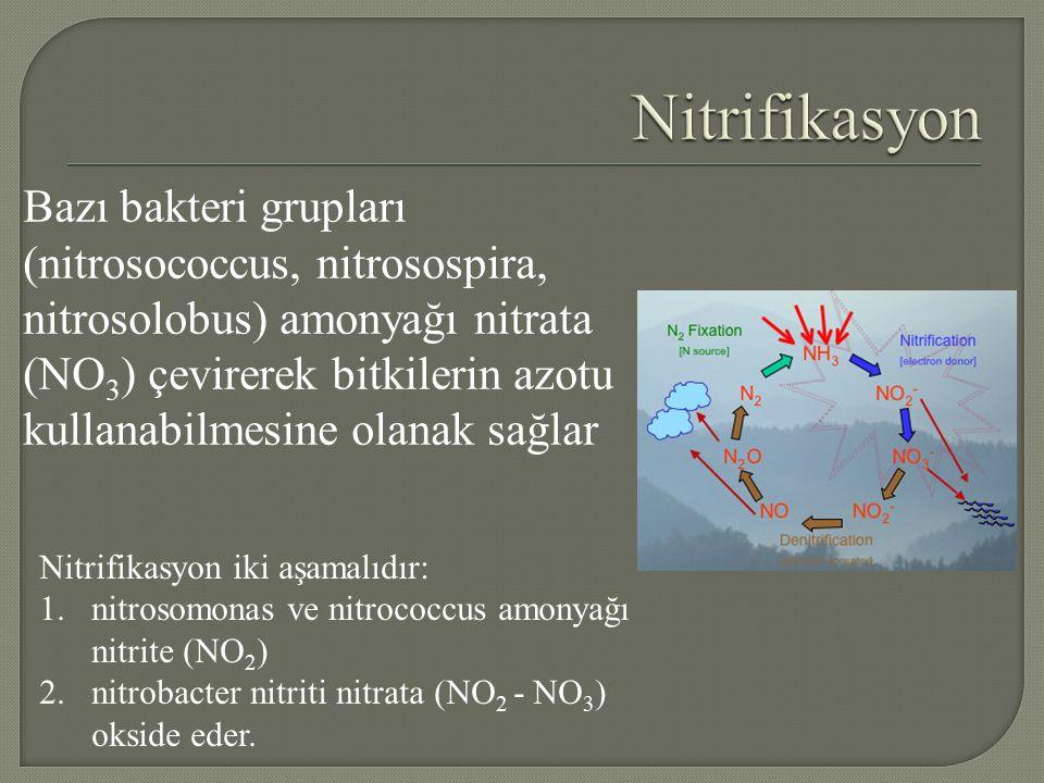 Bazı bakteri grupları (nitrosococcus, nitrosospira, nitrosolobus) amonyağı nitrata (NO 3 ) çevirerek bitkilerin azotu kullanabilmesine olanak sağlar Nitrifikasyon iki aşamalıdır: 1.nitrosomonas ve nitrococcus amonyağı nitrite (NO 2 ) 2.nitrobacter nitriti nitrata (NO 2 - NO 3 ) okside eder.