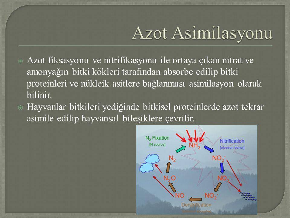  Azot fiksasyonu ve nitrifikasyonu ile ortaya çıkan nitrat ve amonyağın bitki kökleri tarafından absorbe edilip bitki proteinleri ve nükleik asitlere bağlanması asimilasyon olarak bilinir.