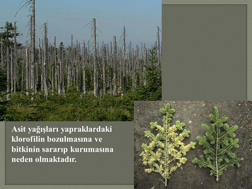 Asit yağışları yapraklardaki klorofilin bozulmasına ve bitkinin sararıp kurumasına neden olmaktadır.