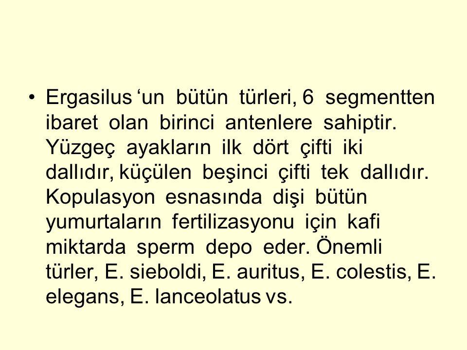 Ergasilus 'un bütün türleri, 6 segmentten ibaret olan birinci antenlere sahiptir. Yüzgeç ayakların ilk dört çifti iki dallıdır, küçülen beşinci çifti