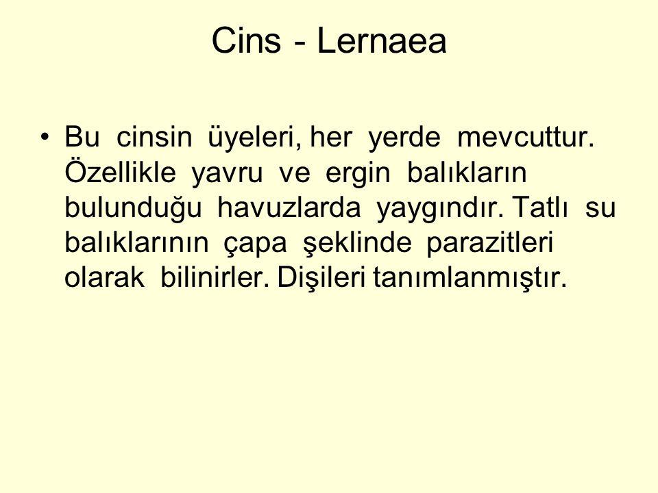 Cins - Lernaea Bu cinsin üyeleri, her yerde mevcuttur.
