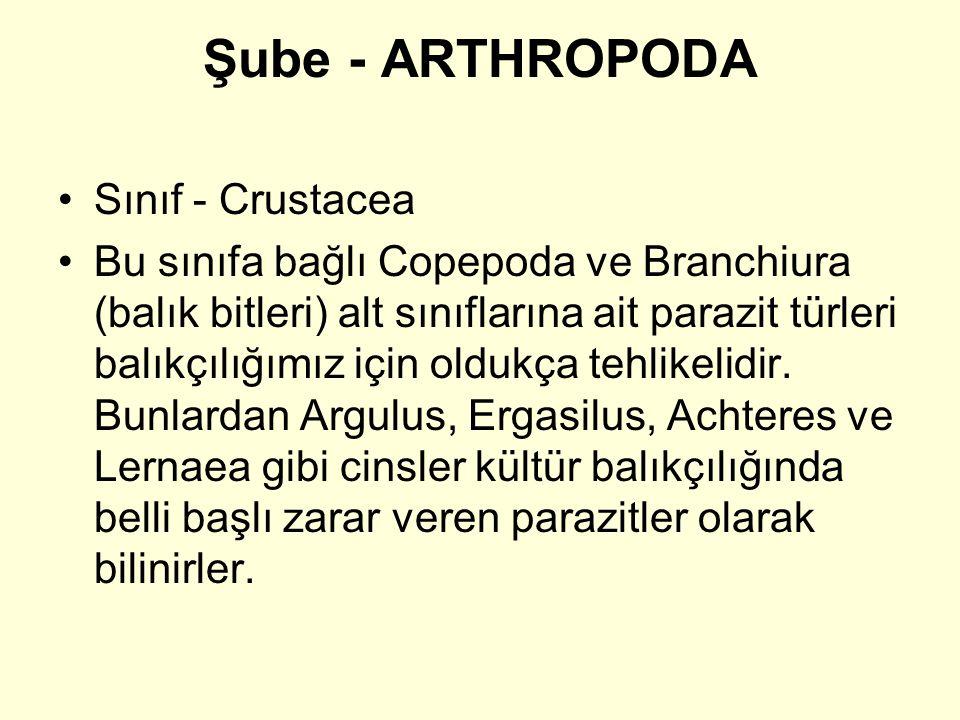 Şube - ARTHROPODA Sınıf - Crustacea Bu sınıfa bağlı Copepoda ve Branchiura (balık bitleri) alt sınıflarına ait parazit türleri balıkçılığımız için oldukça tehlikelidir.