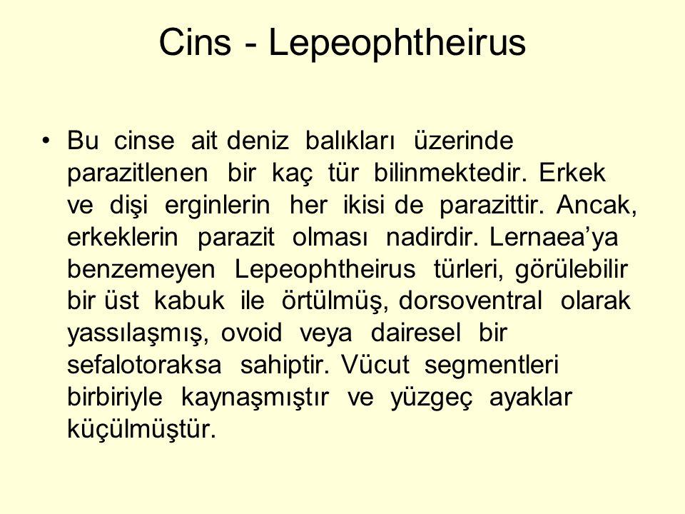 Cins - Lepeophtheirus Bu cinse ait deniz balıkları üzerinde parazitlenen bir kaç tür bilinmektedir. Erkek ve dişi erginlerin her ikisi de parazittir.