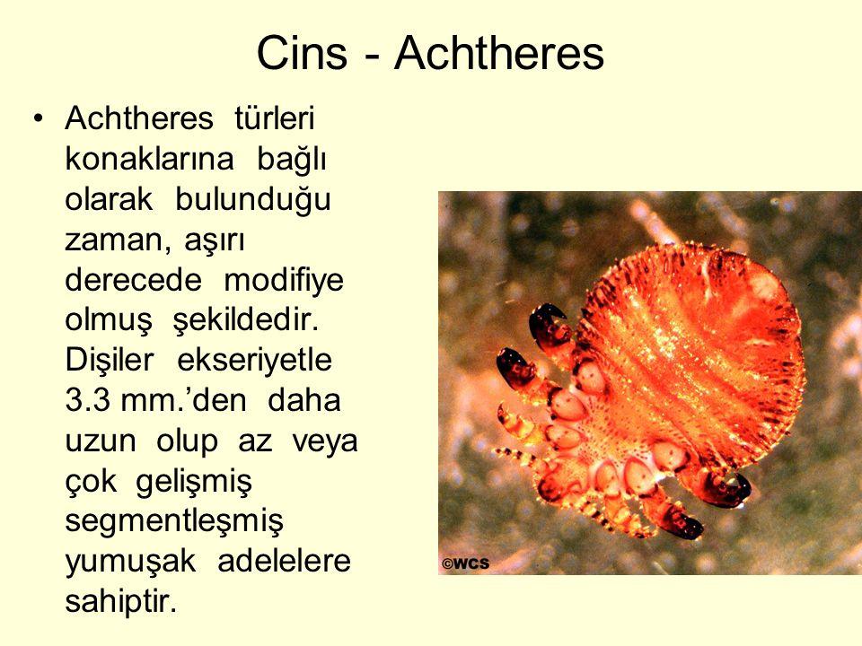 Cins - Achtheres Achtheres türleri konaklarına bağlı olarak bulunduğu zaman, aşırı derecede modifiye olmuş şekildedir. Dişiler ekseriyetle 3.3 mm.'den