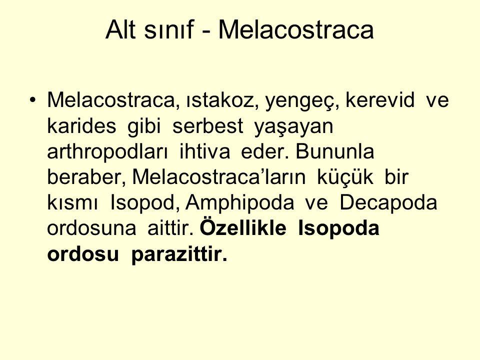 Alt sınıf - Melacostraca Melacostraca, ıstakoz, yengeç, kerevid ve karides gibi serbest yaşayan arthropodları ihtiva eder.