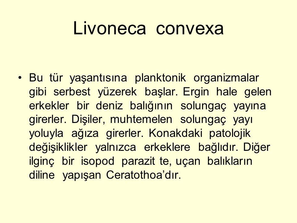 Livoneca convexa Bu tür yaşantısına planktonik organizmalar gibi serbest yüzerek başlar. Ergin hale gelen erkekler bir deniz balığının solungaç yayına