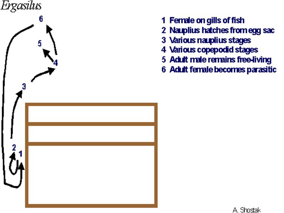Livoneca convexa Bu tür yaşantısına planktonik organizmalar gibi serbest yüzerek başlar.