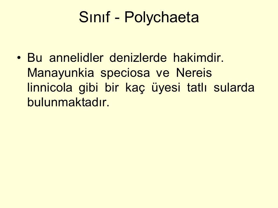Sınıf - Polychaeta Bu annelidler denizlerde hakimdir. Manayunkia speciosa ve Nereis linnicola gibi bir kaç üyesi tatlı sularda bulunmaktadır.