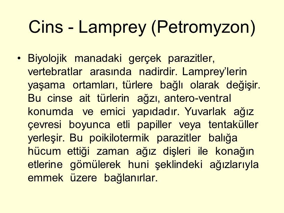 Cins - Lamprey (Petromyzon) Biyolojik manadaki gerçek parazitler, vertebratlar arasında nadirdir.