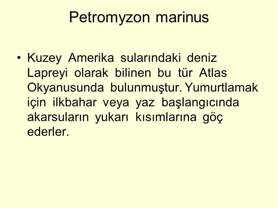 Petromyzon marinus Kuzey Amerika sularındaki deniz Lapreyi olarak bilinen bu tür Atlas Okyanusunda bulunmuştur.