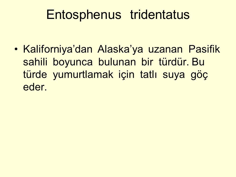 Entosphenus tridentatus Kaliforniya'dan Alaska'ya uzanan Pasifik sahili boyunca bulunan bir türdür. Bu türde yumurtlamak için tatlı suya göç eder.