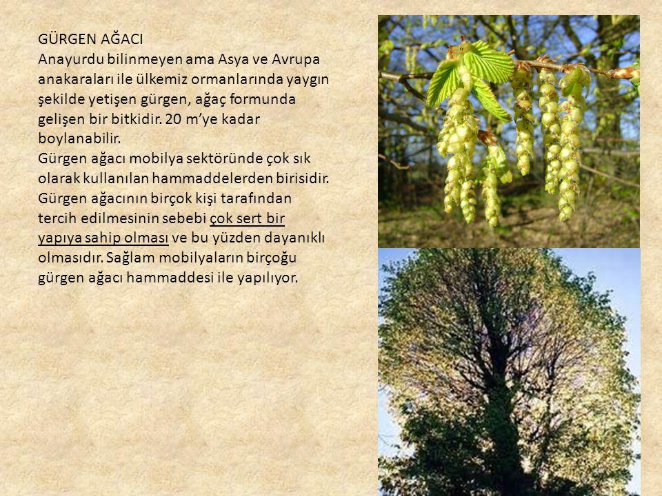 GÜRGEN AĞACI Anayurdu bilinmeyen ama Asya ve Avrupa anakaraları ile ülkemiz ormanlarında yaygın şekilde yetişen gürgen, ağaç formunda gelişen bir bitkidir.
