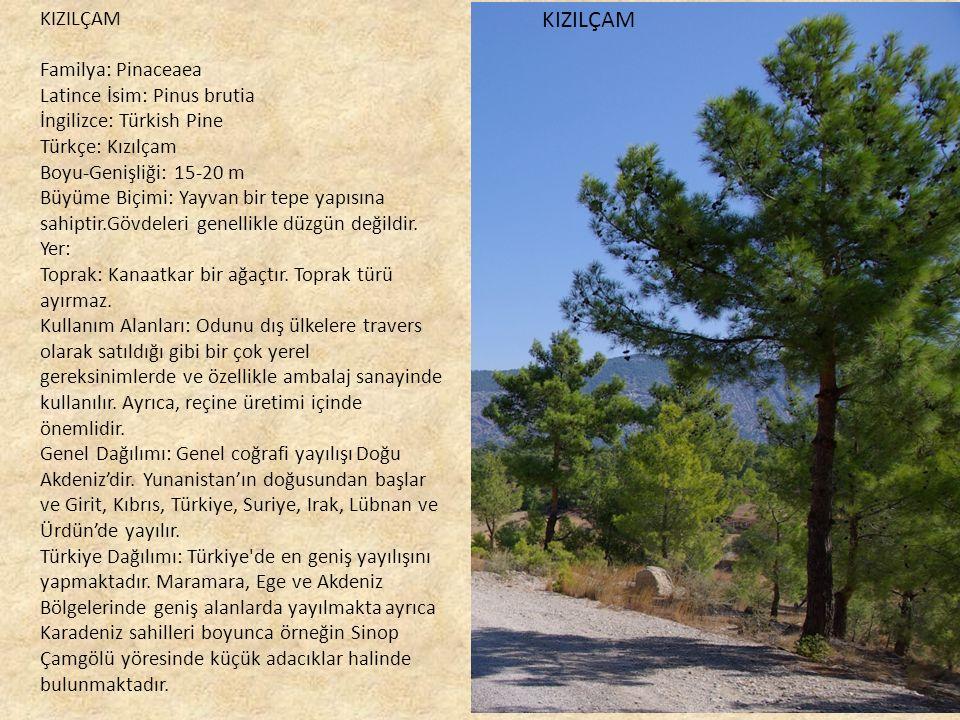 KIZILÇAM KIZILÇAM Familya: Pinaceaea Latince İsim: Pinus brutia İngilizce: Türkish Pine Türkçe: Kızılçam Boyu-Genişliği: 15-20 m Büyüme Biçimi: Yayvan bir tepe yapısına sahiptir.Gövdeleri genellikle düzgün değildir.