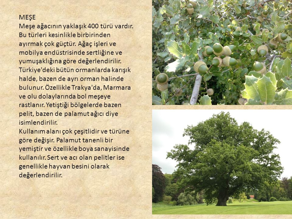 MEŞE Meşe ağacının yaklaşık 400 türü vardır.Bu türleri kesinlikle birbirinden ayırmak çok güçtür.
