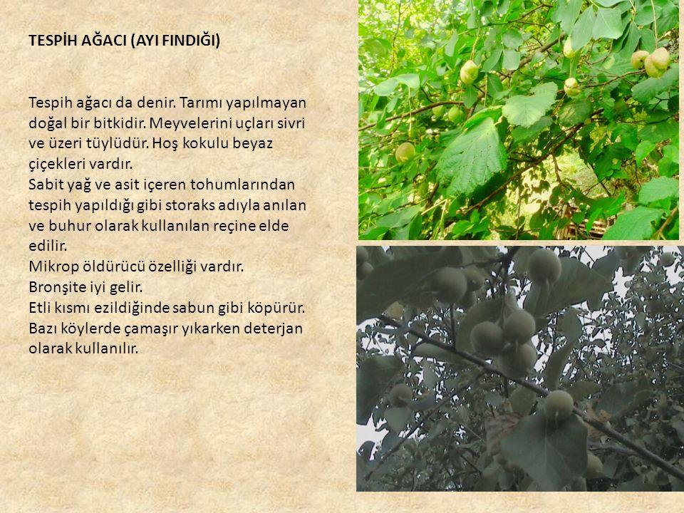 TESPİH AĞACI (AYI FINDIĞI) Tespih ağacı da denir.Tarımı yapılmayan doğal bir bitkidir.