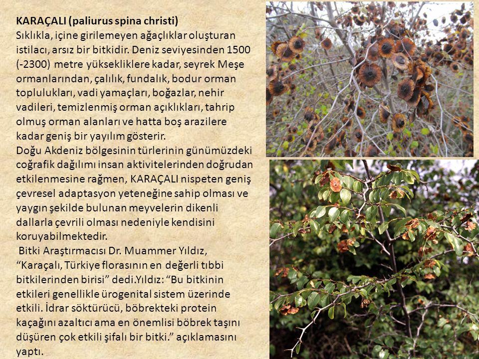KARAÇALI (paliurus spina christi) Sıklıkla, içine girilemeyen ağaçlıklar oluşturan istilacı, arsız bir bitkidir.