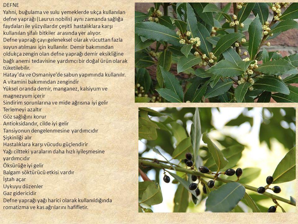 DEFNE Yahni, buğulama ve sulu yemeklerde sıkça kullanılan defne yaprağı (Laurus nobilis) aynı zamanda sağlığa faydaları ile yüzyıllardır çeşitli hastalıklara karşı kullanılan şifalı bitkiler arasında yer alıyor.