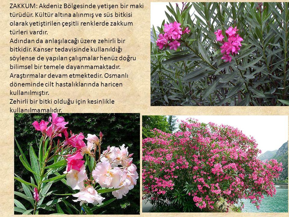 ZAKKUM: Akdeniz Bölgesinde yetişen bir maki türüdür.