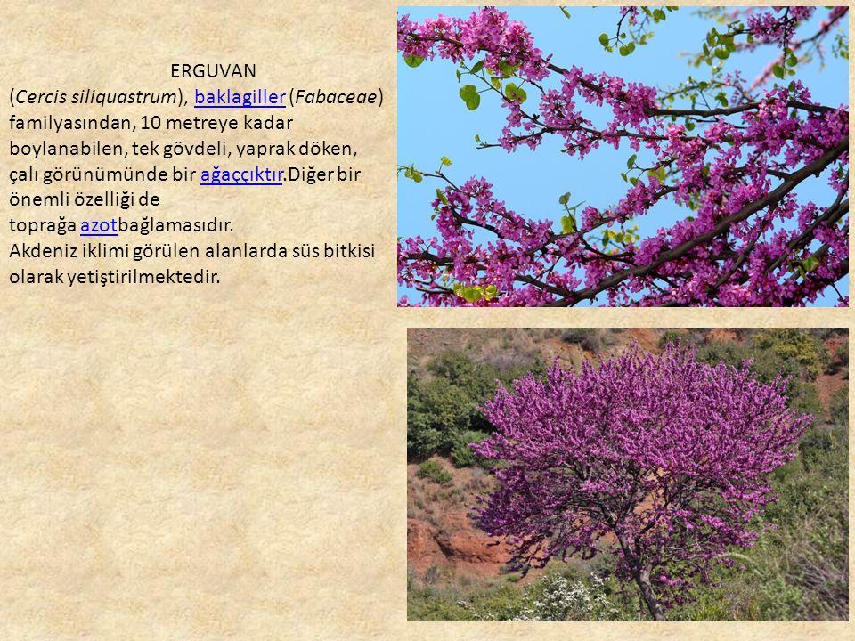 ERGUVAN (Cercis siliquastrum), baklagiller (Fabaceae) familyasından, 10 metreye kadar boylanabilen, tek gövdeli, yaprak döken, çalı görünümünde bir ağaççıktır.Diğer bir önemli özelliği debaklagillerağaççıktır toprağa azotbağlamasıdır.azot Akdeniz iklimi görülen alanlarda süs bitkisi olarak yetiştirilmektedir.