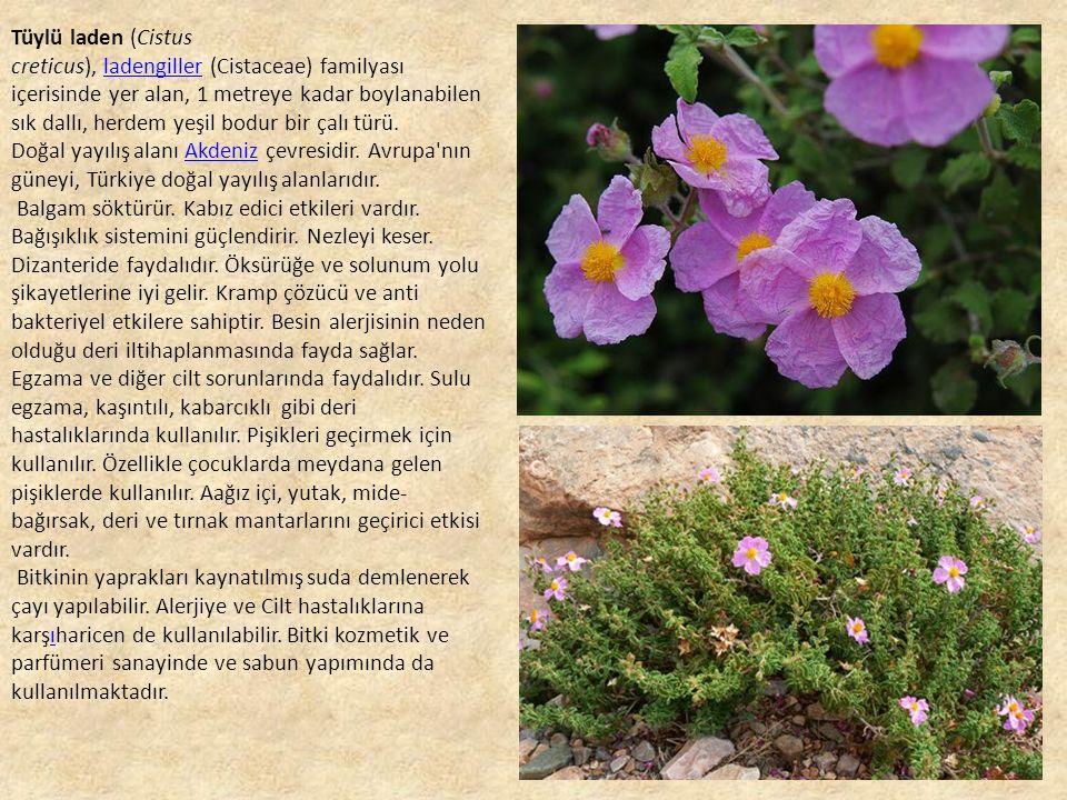 Tüylü laden (Cistus creticus), ladengiller (Cistaceae) familyası içerisinde yer alan, 1 metreye kadar boylanabilen sık dallı, herdem yeşil bodur bir çalı türü.ladengiller Doğal yayılış alanı Akdeniz çevresidir.