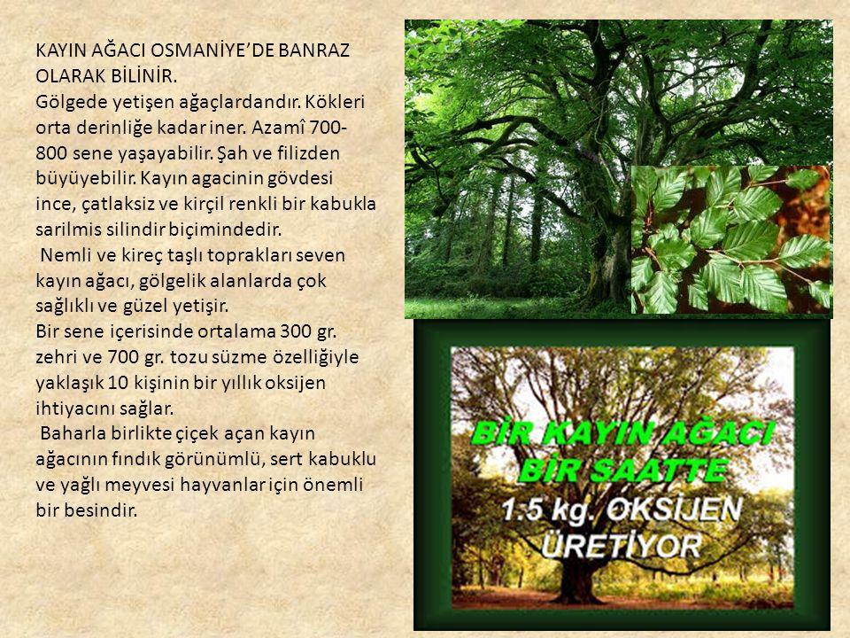 KAYIN AĞACI OSMANİYE'DE BANRAZ OLARAK BİLİNİR.Gölgede yetişen ağaçlardandır.