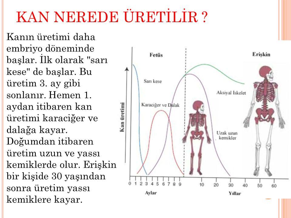 KAN NEREDE ÜRETİLİR ? Kanın üretimi daha embriyo döneminde başlar. İlk olarak