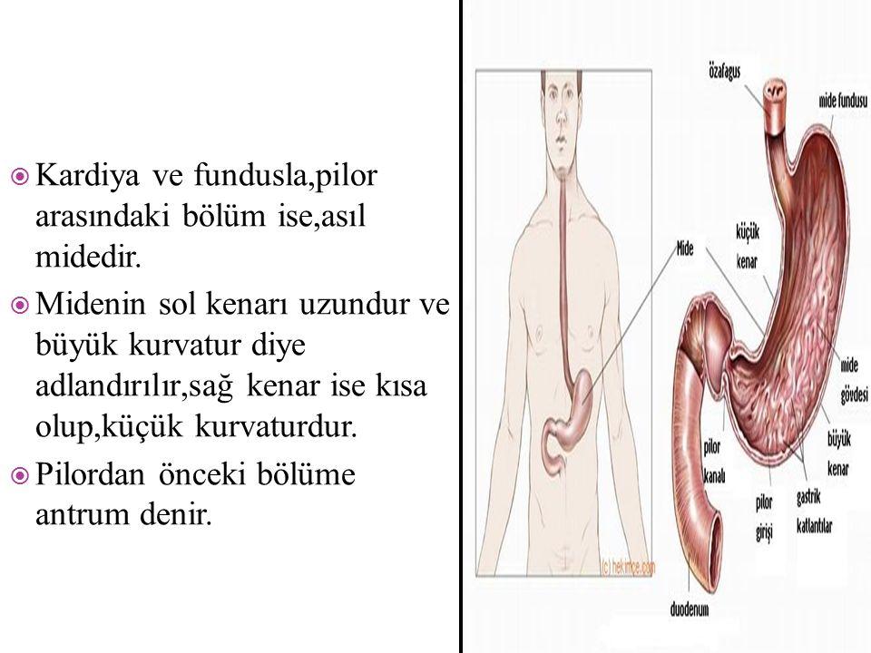  Kardiya ve fundusla,pilor arasındaki bölüm ise,asıl midedir.  Midenin sol kenarı uzundur ve büyük kurvatur diye adlandırılır,sağ kenar ise kısa olu
