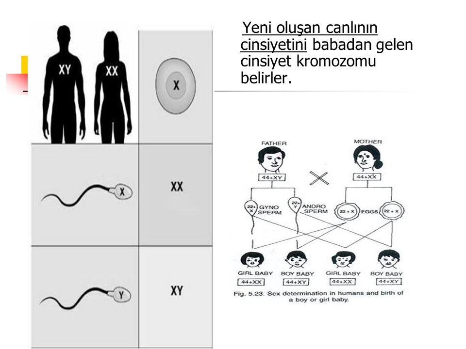 Yeni oluşan canlının cinsiyetini babadan gelen cinsiyet kromozomu belirler.